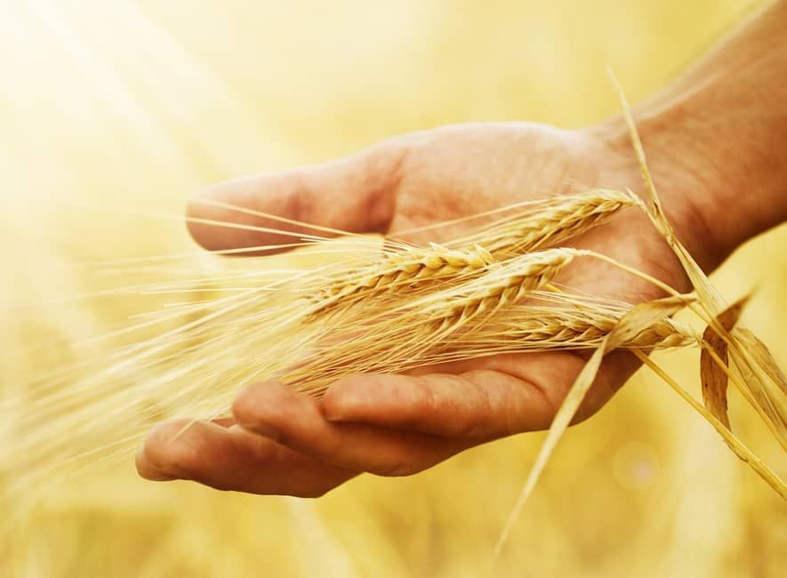 Ripened wheat crops supported by a human hand