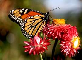 red-orange-coloured-butterfly-on-flowers